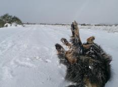 Doxi rollt sich erst einmal entzückt im Schnee ab