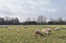 Schafe auf den Rheinwiesen