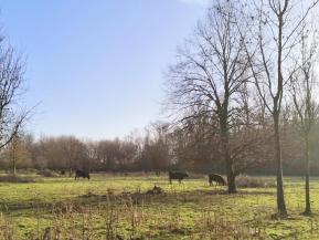 Urwüchsige Rinder auf den Weiden hinter der Museumsinsel Hombroich