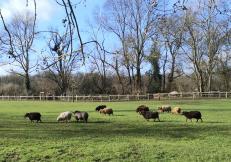 Bunte Schafsherde auf dem Selikumer Kinderbauernhof