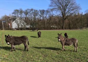Süße Eselchen an unserem Startpunkt am Wanderparkplatz Kohlensiepen