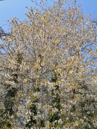 Kirschblüte am Pferdehof