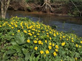 Wildblumen am Veybach hinter Satzvey