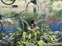 Neugierige Ente am Mühlengraben