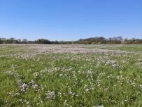 Wildblumenwiese in den Ruhrauen
