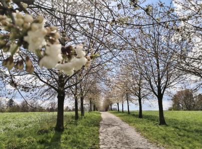 Kirschblüte auf dem Ruhrhöhenweg