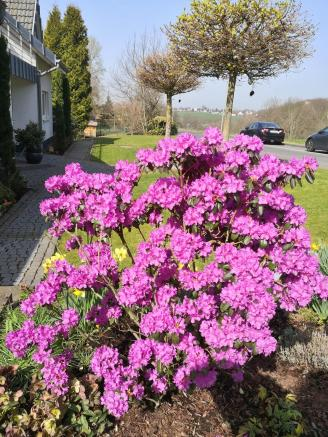 Prächtige Blüte an einem Haus in Glöbusch