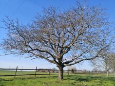 Prächtiger Baum am Cloushof