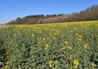 Rapsfeld vor dem Tüschenwald