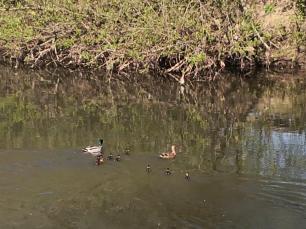 Eine Entenfamilie mit zehn Küken
