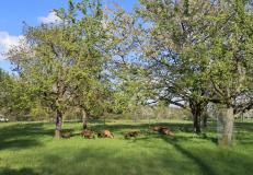 Ziegen mit ihren Jungen auf dem Gelände des BUND an der Neusser Bauerbahn