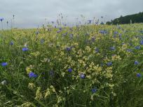 Wildpflanzen am Rande der Kornfelder bei Kleinhau