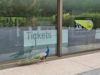 Der Pfau ist genau wie wir zu früh dran und wartet vor dem Ticket-Shop auf den Einlass :-)