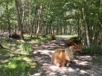 Rinder auf dem Waldweg