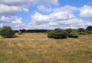 Wachholder in der Heidefläche