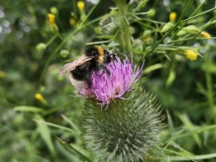 Fleißige Biene auf einer Diestelblüte