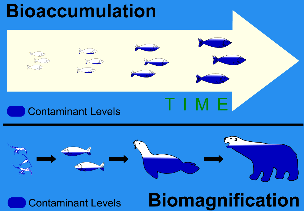Image result for bioaccumulation