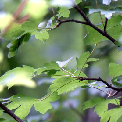 érable-champêtre-feuilles-ecoutelebois