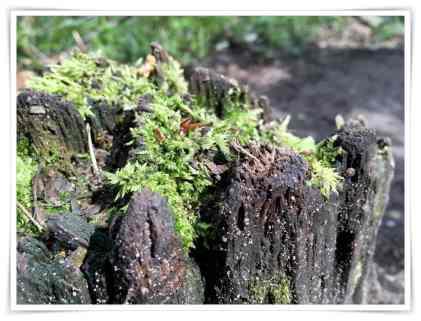 Moos im Baumstumpf