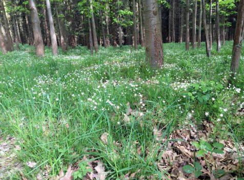 Blühende Wiese im Wald