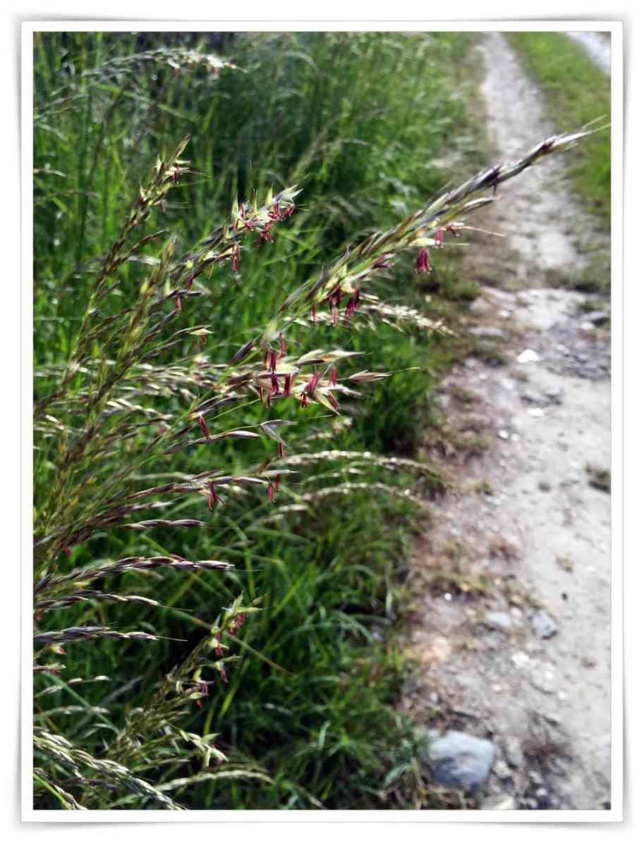 Blühende Gräser