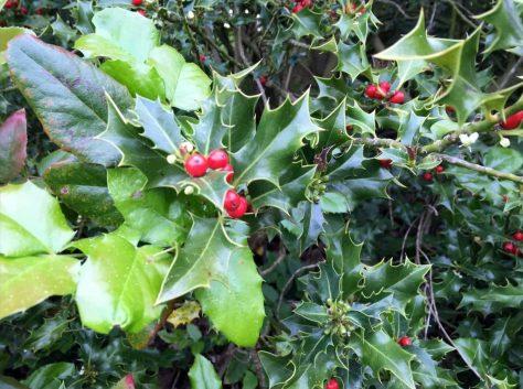 Stechpalme mit Früchten