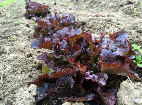 Roter Salat
