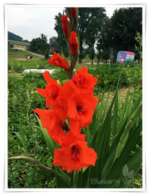 Gladiole rot
