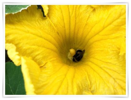Hummel in einer Kürbisblüte