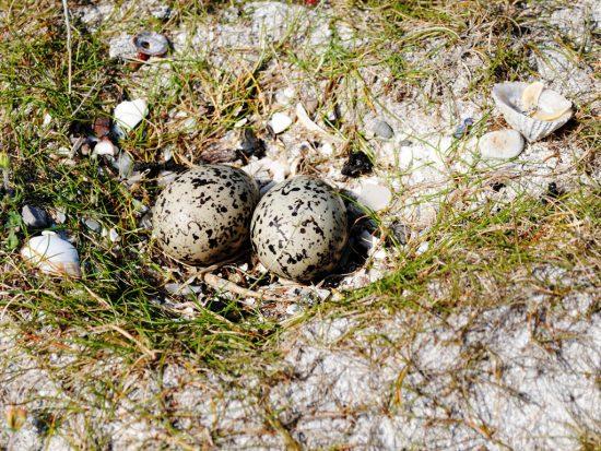 oystercatcher_eggs