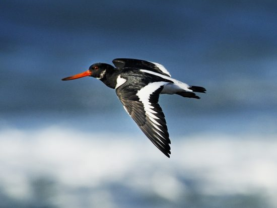 oystercatcher_inflight