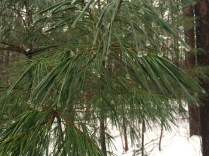 Find a healthy white pine