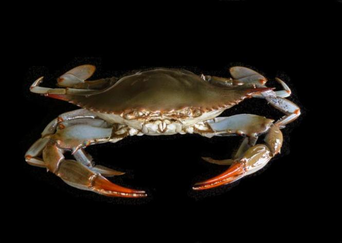All Crabs Are Male Unless A Female Is Requested Please Type Your Finish Choice In The Comments Section When Ordering Through Paypal