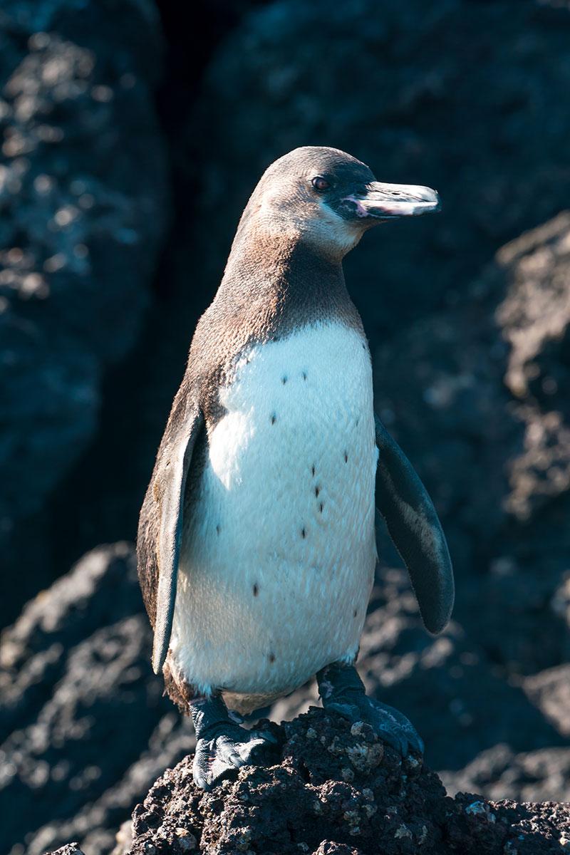 Galapagos-Penguin-2-1200