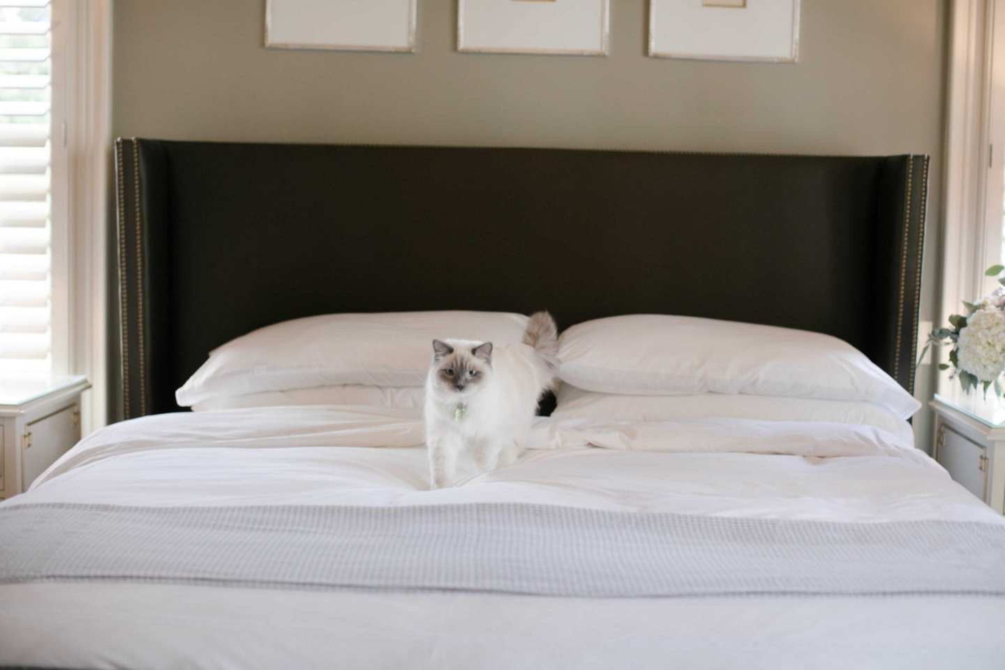 All white bedding with percale sheets. Ragdoll kitten! on white bed with brown silk headboard and gray bed blanket.