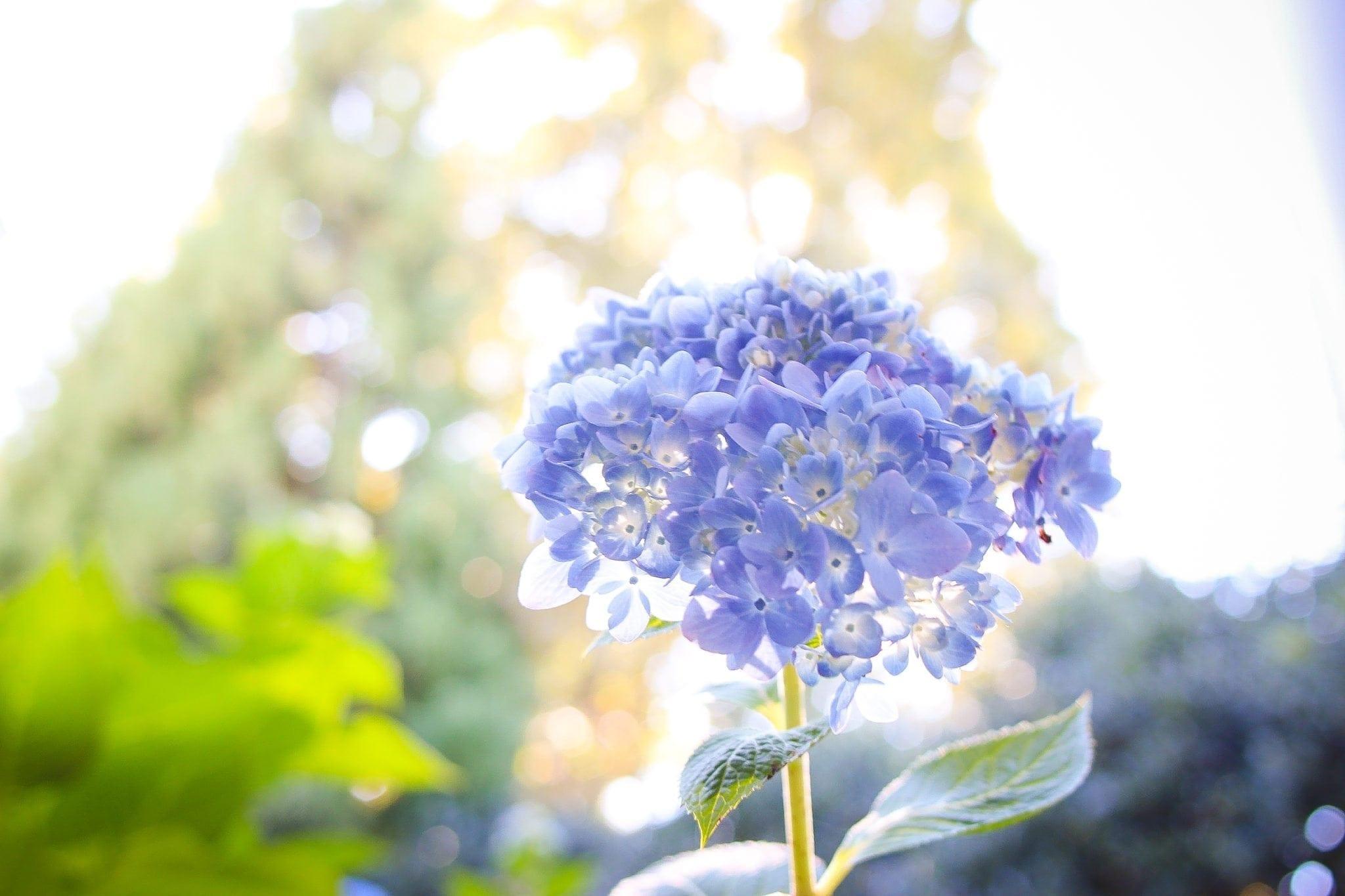 Endless Summer blue hydrangea blooms.