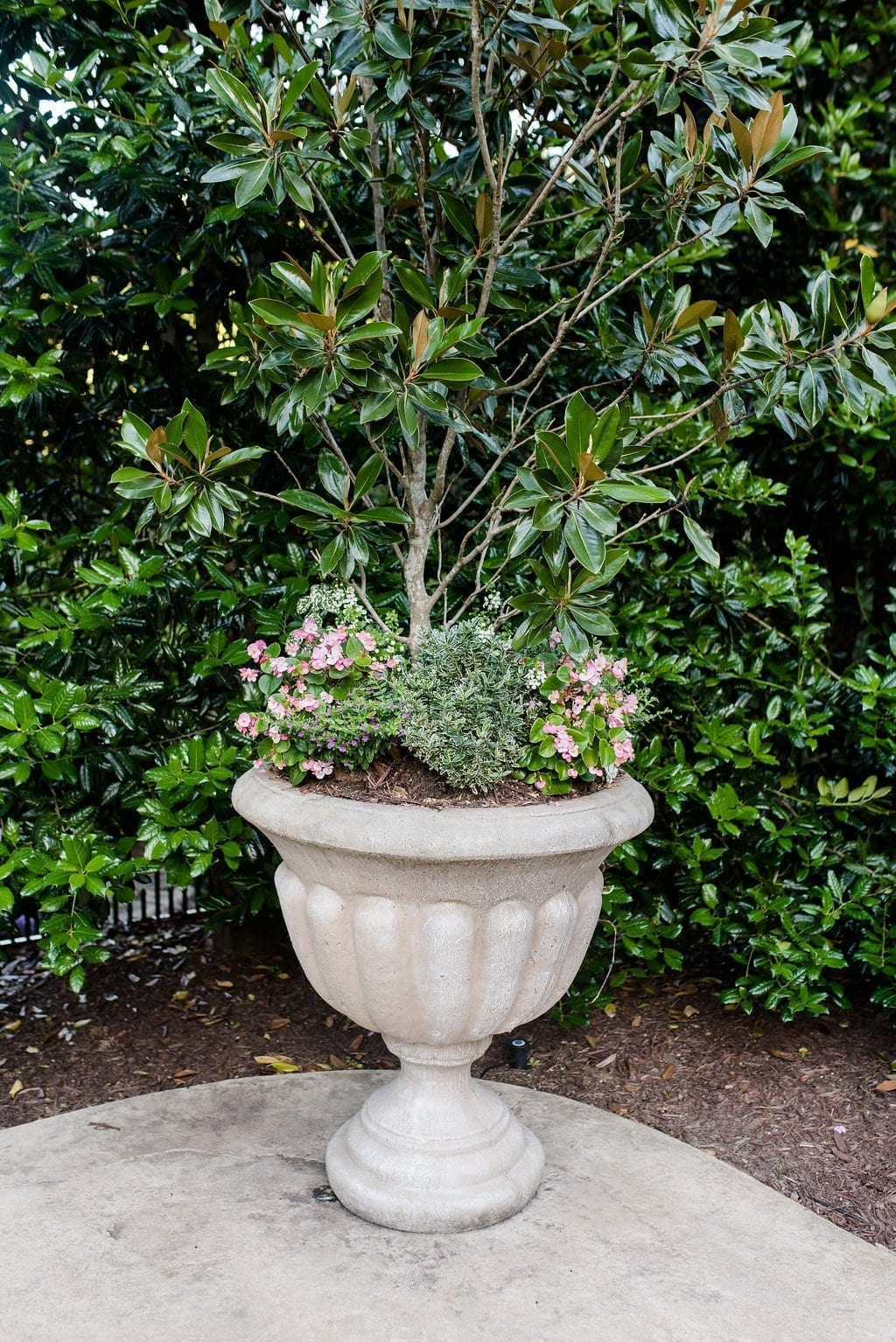 Magnolia Gem tree in planter.
