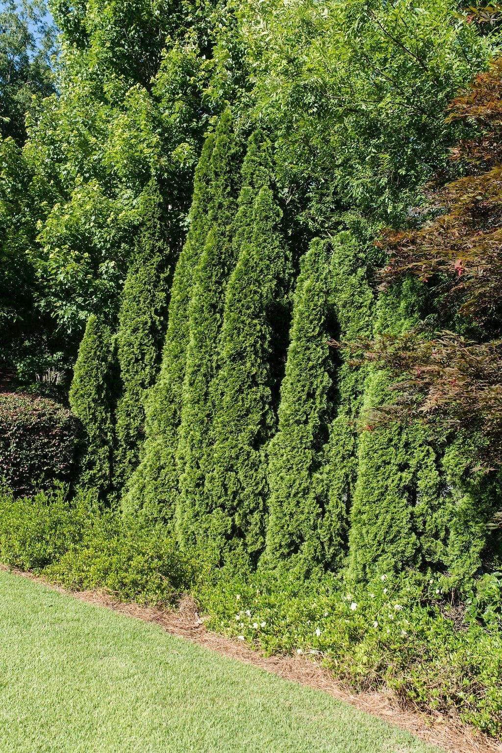 Group of arborvitae trees and various size.