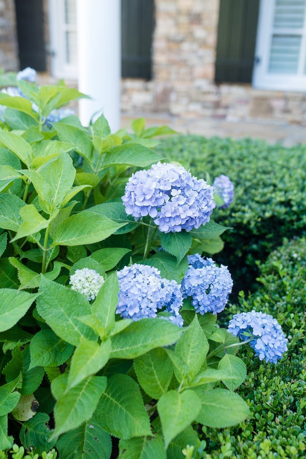 Where to plant Hydrangea in Atlanta, Georgia.