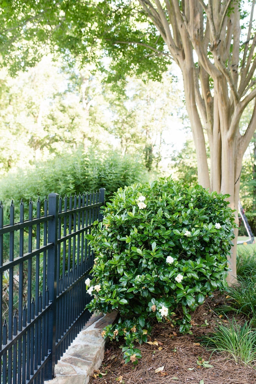 Gardenia Bushes size and how large mine are in our Atlanta, Georgia yard and are perfect small trees for privacy.