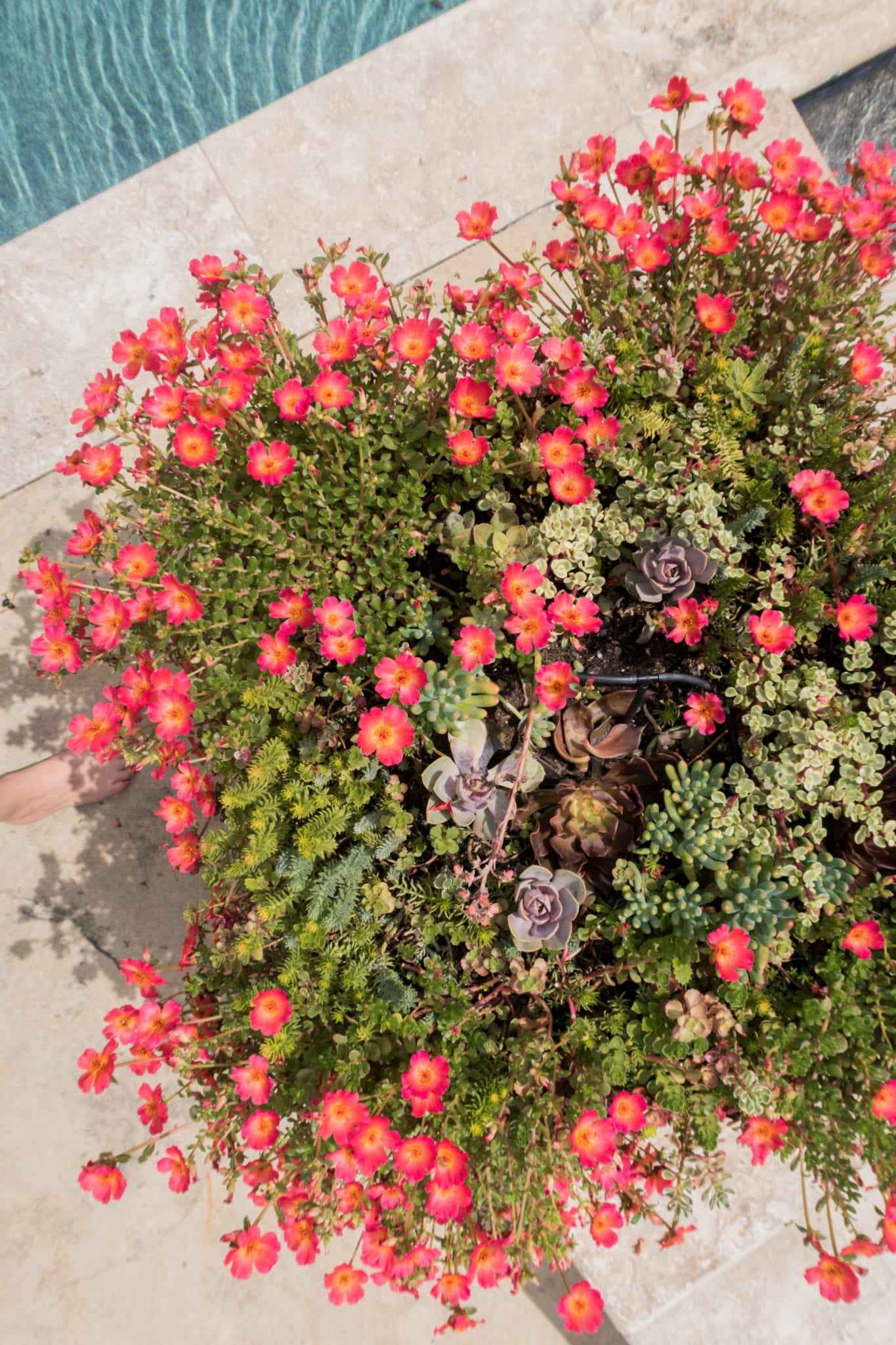 Create succulents container gardens with a mix of various succulents and even flowering succulent plants!