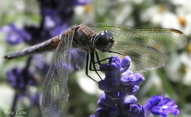 Dragonfly by Mike Lane