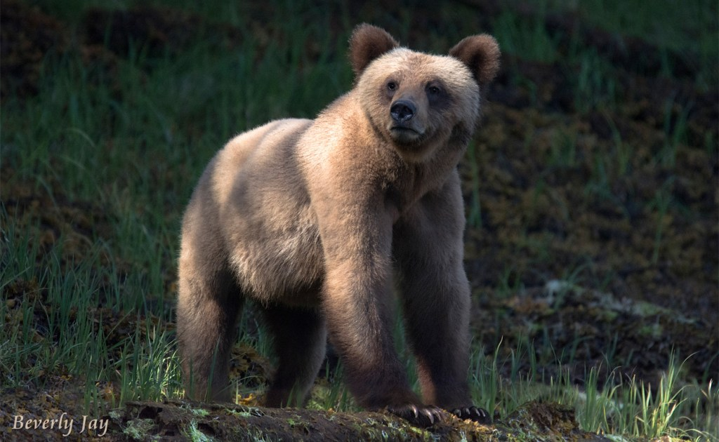 Little Blond Grizzly by Beverly Jay