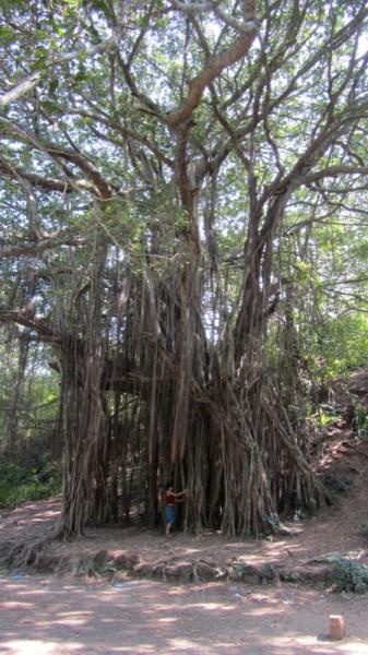 Chapora Tree