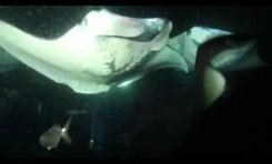 46 wspaniałych mant podczas jednego nurkowania nocnego