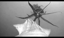 Jak wyglądają spotkania w podwodnej wspólnocie kałamarnic?