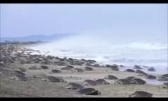 Początek corocznej migracji żółwi na plażach Meksyku
