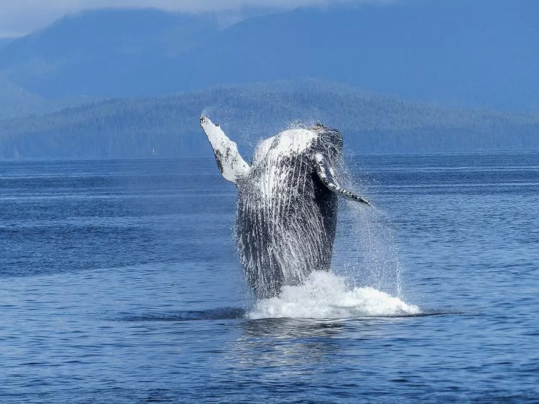 humbaki wieloryby pieśni wielorybów
