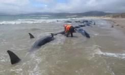 W miniony weekend na jednej z mielizn Zatoki Mason, skalistej wyspy Stewart, utknęło 145 waleni.
