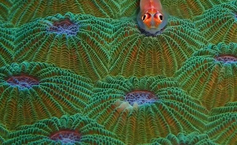 2 miejsce w kategorii Kompakt Macro Babka koralowa wśród kilku kolorowych koralowców fot Kate Tinson Ocean Art
